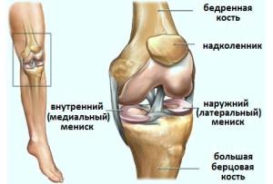строение колена: мениск