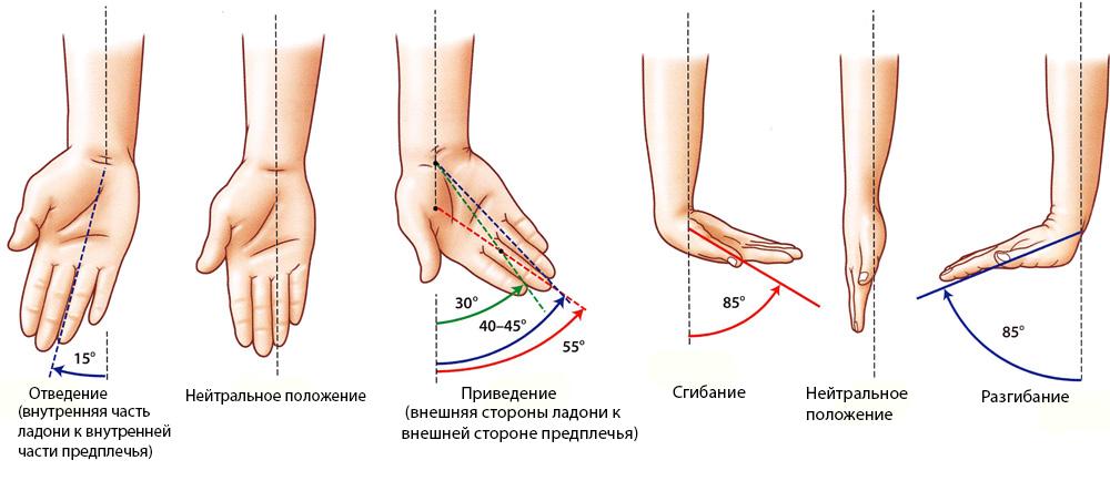 Анатомия движения в лучезапястном суставе
