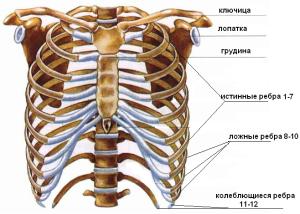 Строение грудной клетки ребра, грудина