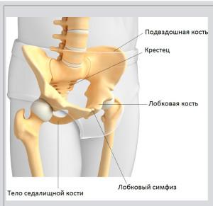 лобковая кость, подвздошная кость, седалищная кость